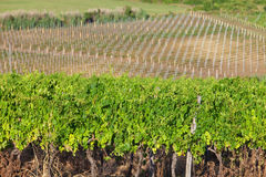Vineyard in croatia Royalty Free Stock Image