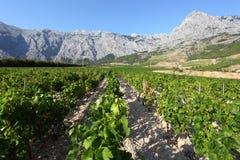 Vineyard in Croatia Stock Photos