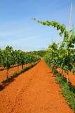 Vineyard in Croatia Royalty Free Stock Photo