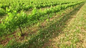 Vineyard Crops in Spring Aerial View. Drone aerial view of a vineyard at sunset. Moving forward over the vineyard with a Phantom 3 Pro 4k Sony camera. Very handy stock video footage