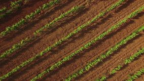 Vineyard Crops at Sunset Aerial View. Drone aerial view of a vineyard at sunset. Moving vertically and spinning over the vineyard with a Phantom 3 Pro 4k Sony stock footage