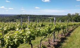 Vineyard in Ct Stock Image