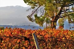 Vineyard cultivated field in a countryside. Vineyard cultivated field in an italian countryside royalty free stock photo