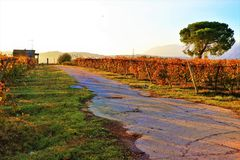 Vineyard cultivated field in an Italian countryside. Vineyard cultivated field in a countryside. Autumnal landscape background royalty free stock images
