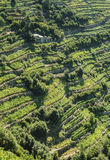 Vineyard cultivation on terraces on hillside Stock Photos