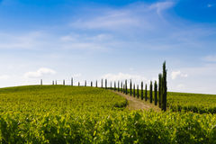 Vineyard and cypresses in Tuscany, Italy Stock Photo