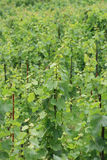 Vineyard in czech republic Royalty Free Stock Image