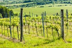 Vineyard, Czech Republic. Vineyard near Hnanice, Southern Moravia, Czech Republic Royalty Free Stock Images