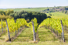 Vineyard, Czech Republic Stock Images