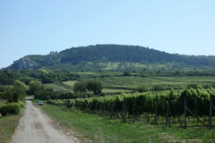 Vineyard. In the Czech Republic Palava Stock Photography