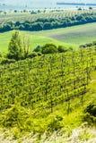 Vineyard, Czech Republic. View of vineyard Jecmeniste, Znojmo Region, Czech Republic Royalty Free Stock Photography