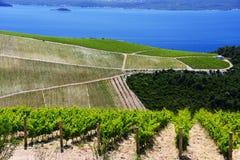 Vineyard in Dalmatia, Croatia, at the Adriatic coast Stock Images