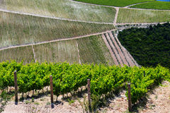 Vineyard in Dalmatia, Croatia, at the Adriatic coast Stock Photos