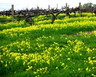 Vineyard & Dandelions Stock Images