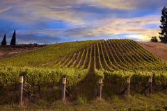 Vineyard at dawn Royalty Free Stock Photography