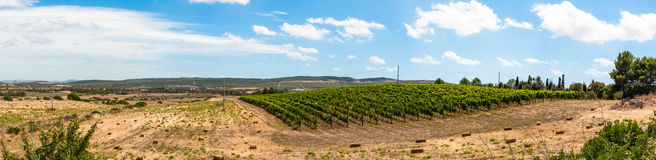 Vineyard in a day of summer Royalty Free Stock Photo