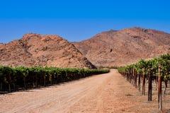 Vineyard in desert Stock Photo