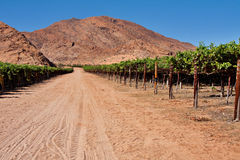 Vineyard in desert Stock Photo