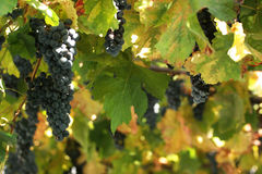 Vineyard in detail Royalty Free Stock Images