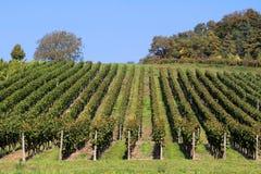 Vineyard detail stock image