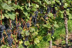 Vineyard detail Royalty Free Stock Photography