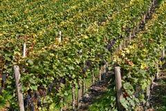 Vineyard detail Stock Photos