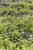 Vineyard detail in Pico island, Azores. Portugal. Currais Royalty Free Stock Photo