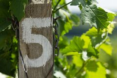 Vineyard - detail row number five Royalty Free Stock Photo