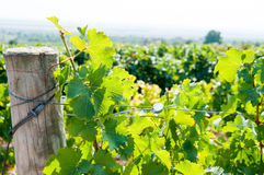 Vineyard detail Royalty Free Stock Photo