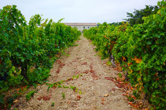 Vineyard in Domaine de Maguelone near Montpellier, South France,. Red wine grape plantation Royalty Free Stock Photos