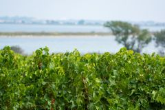 Vineyard in Domaine de Maguelone near Montpellier, South France,. Red wine grape plantation Royalty Free Stock Photo