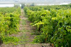Vineyard in Domaine de Maguelone near Montpellier, South France,. Red wine grape plantation Stock Photos
