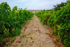 Vineyard in Domaine de Maguelone near Montpellier, South France,. Red wine grape plantation Royalty Free Stock Photography