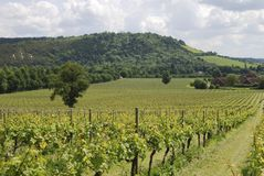 Vineyard at Dorking. Surrey. England Royalty Free Stock Images