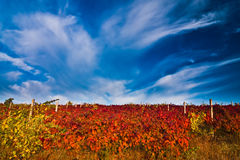 Vineyard with dramatic skies Royalty Free Stock Images