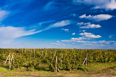 Vineyard with dramatic sky Royalty Free Stock Photo