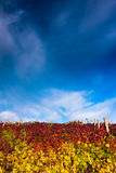 Vineyard with dramatic sky Royalty Free Stock Photography