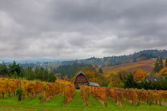 Vineyard in Dundee Oregon in Fall Season USA America. Vineyard in rolling hills Dundee Oregon on foggy day in fall season United States America royalty free stock photo