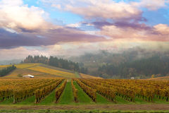 Vineyard in Dundee Oregon. On a foggy morning during Fall Season royalty free stock images
