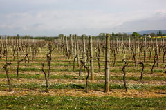 Vineyard early in the season. Royalty Free Stock Photos