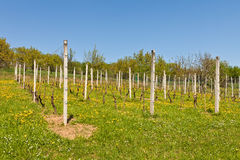 Vineyard in early spring. Young vineyard in early spring Royalty Free Stock Image