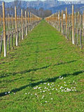 Vineyard in early spring Stock Photo