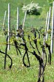 Vineyard in early spring, Lower-Austria. Vineyard in early spring, the leaves are unfolding, everything is green and lush and new. Vineyard in Austria stock images