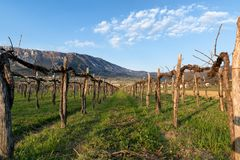 Vineyard in early spring. Slovenia, Vipava valley Stock Photography