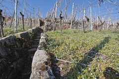 Vineyard in early spring time Stock Photo