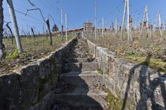 Vineyard in early spring time Stock Photography