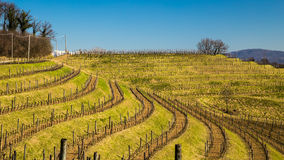 Vineyard in early spring Royalty Free Stock Images