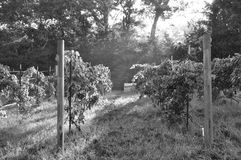Vineyard in East Texas Stock Photos