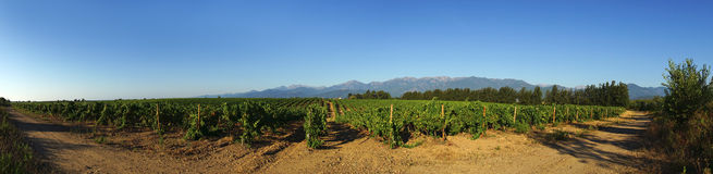 Vineyard in eastern plain of  corsica Royalty Free Stock Photo