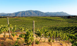 Vineyard in eastern plain of Corsica Stock Photo